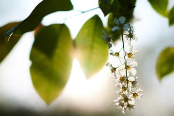 Fototapeta Kwitnący dziki leśny bez w promieniach wiosennego zachodzącego słońca obraz