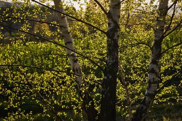 Prześwitujące promienie słońca przez gałęzie i liście brzozy