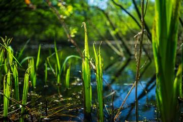 Fotobehang Bamboo Sumpfgras im See