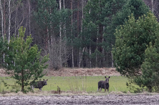 Elks are seen in a field near the village of Zhukovka