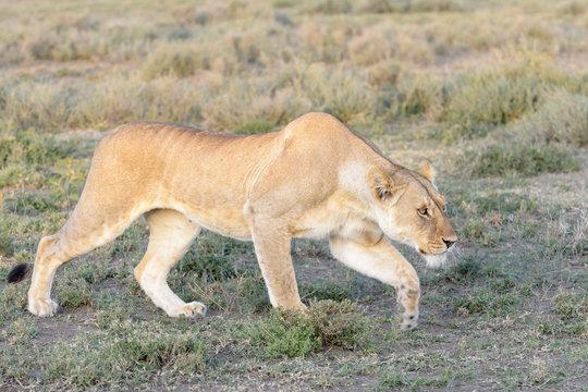 Lioness (Panthera leo) hunting on savanna, stalking, Ngorongoro conservation area, Tanzania.