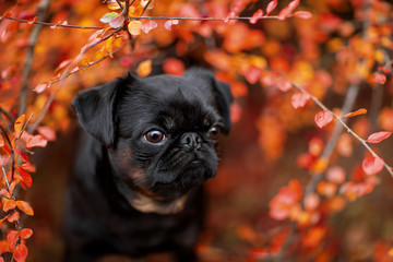 Wall Mural - cute portrait of a dog in autumn foliage. Petit Brabancon on the nature