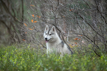 Fototapete - Portrait of a beautiful Siberian Husky dog in autumn bushes. Siberian husky in autumn Park