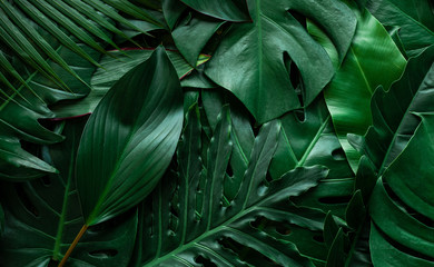 Fotomurales - closeup nature view of monstera leaf and palms background. Flat lay, dark nature concept, tropical leaf