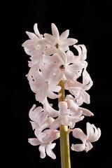 Fotobehang Closeup on White Hyacinth