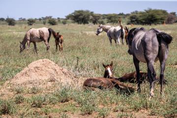 Gros plan sur un jeune poulain couché au milieu d'un troupeau de chevaux en liberté