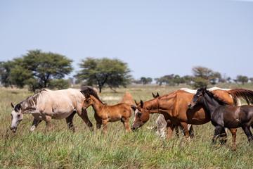 Gros plan sur un jeune poulain au milieu d'un troupeau de chevaux en liberté