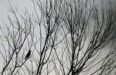 A crow is rest on a branch of a tree that has shed its leaves ahead of  Earth Day, amid concerns about the spread of coronavirus disease (COVID-19) in Colombo