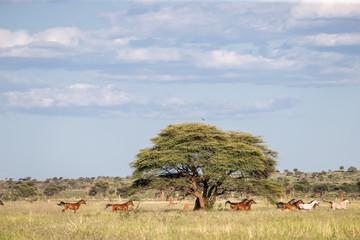 Troupeau de chevaux au galop dans la prairie avec un grand arbre acacia au milieu