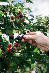 picking up berries