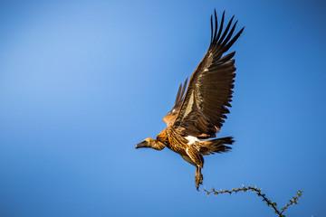 Vautour les ailes déployées qui s'envole d'un arbre
