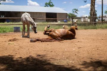 Cheval pur sang arabe dans un enclos qui se roule