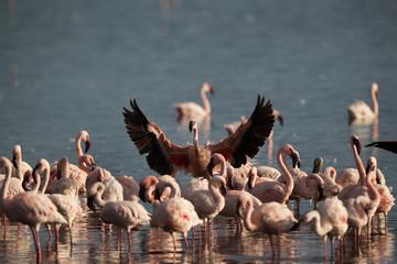 Lesser Flamingo raising its wings Fototapete
