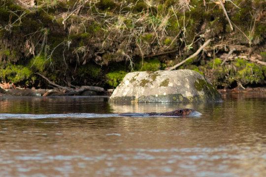 Beaver swimming up river