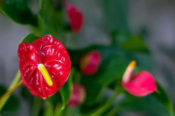 Obraz czerwony nagrobny kwiat - fototapety do salonu
