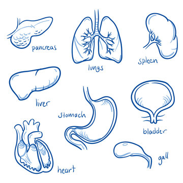 Set of different human inner organs, some are in cross section view, for medical info graphics. Hand drawn line art cartoon vector illustration.