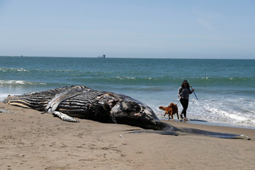 The carcass of a humpback whale lies washed up at Baker Beach in San Francisco