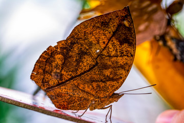 Deurstickers Vlinder Dead leaf butterfly , Kallima inachus, aka Indian leafwing, standing wings folded on a bamboo branch, dead leaf imitation.