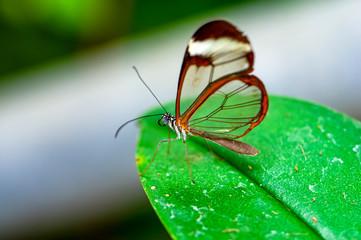 Spoed Fotobehang Vlinder Glasswing Butterfly (Greta oto) in a summer garden.