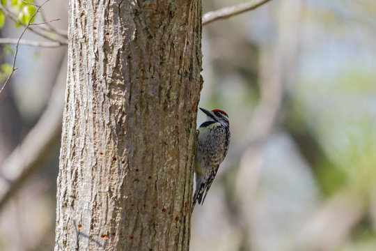 Yellow-bellied Sapsucker clinging to a tree trunk