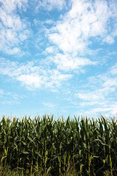 Cornfield against the August sky near Horicon National Wildlife Refuge, Mayville, Wisconsin