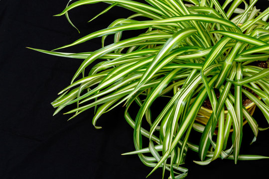 Green Spider House Plant with a back background
