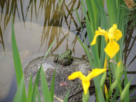 Frog in a pond on a sunny spring morning