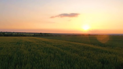Wall Mural - summer landscape with evening wheat field at the sunset time