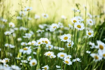 Photo sur Plexiglas Marguerites Lush flowering daisies in the meadow.