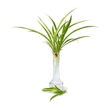 Chlorophytum comosum, spider plant, growing roots in a glass vase