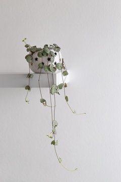Ceropegia woodii also called String of Hearts or Chain of Hearts, modern house plant in a flowerpot against white wall, vertical