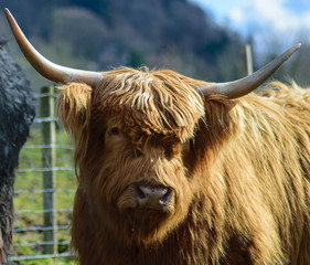 Acrylic Prints Highland Cow scottish highland cow