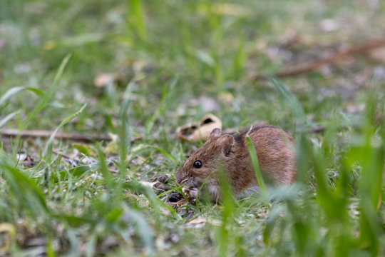 Mouse feeds on seeds in grass