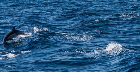 Dolphin Swimming In Sea