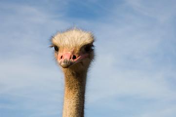 Photo sur Toile Autruche big ostrich in portrait