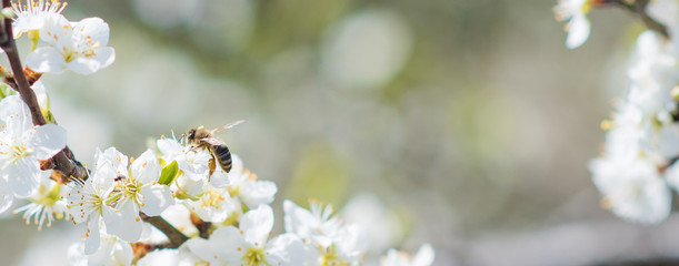Banner background with bee and blooming tree branches, honey production and spring concept
