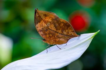 Zelfklevend Fotobehang Vlinder Dead leaf butterfly , Kallima inachus, aka Indian leafwing, standing wings folded on a bamboo branch, dead leaf imitation.