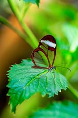 Autocollant pour porte Papillon Glasswing Butterfly (Greta oto) in a summer garden.