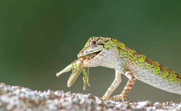 Tree lizard eating a grasshopper