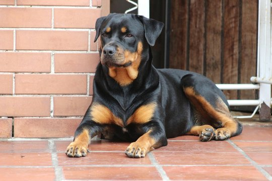 Rottweiler Sitting On Porch