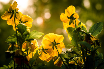 Yellow pansies with sunny background
