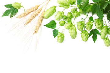 Hop cones and wheat ears isolated on white background. Beer brewing ingredients. Beer brewery concept. Beer background. Top view