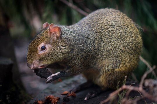 Close-up Of Azara Agouti Eating Tree Bark