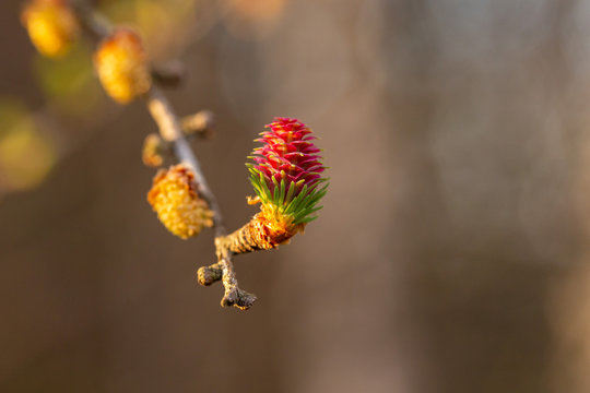 Branch of European larch (Larix decidua) in spring with young pine, male and female flowers. flowers of European larch (Larix decidua). Male and female flower of the Larch (Larix decidua).