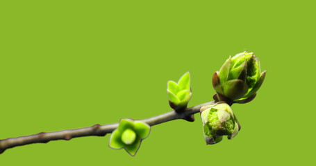 Small sprouts rising on branch of tree, germination process, evolution, spring time lapse, pestel, female flower, isolated on black Fotobehang