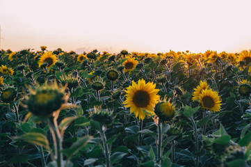 Colorful sunset over a sunflower field. Ecological pure, natural sunflower oil. Field of sunflowers. Sunflowers flowers. Sunflower field blooming during the Summer. Sunflowers sunset.