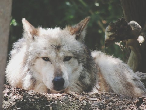 Wolf Lying On The Ground