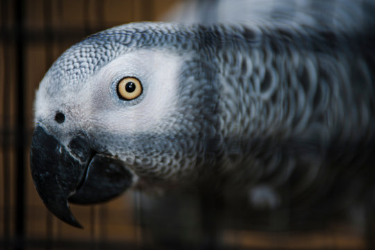 Close-up Of African Grey Parrot In Cage At Zoo