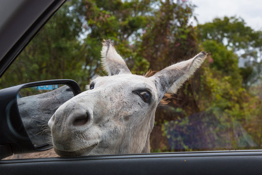 Wild Donkey with head in car window  on the Caribbean Island of St John in the US Virgin Islands