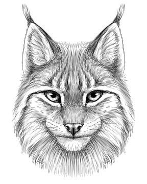 Lynx. Sketch, drawn, graphic portrait of a lynx head on a white background